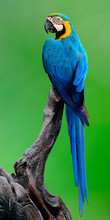 Beautiful Blue-and-gold Macaw Bird Perching On The Dark Log Over Green Background, Fascinated Nature