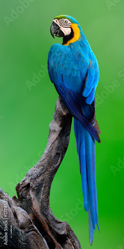Beautiful blue-and-gold macaw bird perching on the dark log over green background, fascinated nature Fotomurales