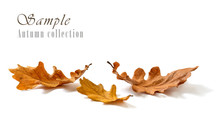 Oak Leaves Isolated On White B...
