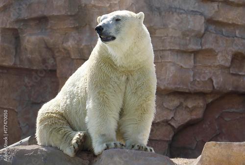 Fotografie, Obraz  Orso polare o Orso bianco(Ursus maritimus)