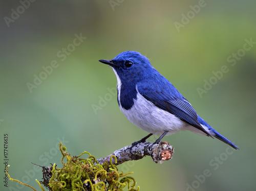 Foto op Plexiglas Vogel Ultramarine Flycatcher (Superciliaris ficedula) lovely blue bird perching on top mossy branch over far blur green background in soft morning lighting, amazing nature