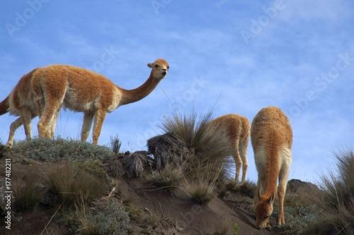vicuñas (vicugna vicugna) in the wild at Mt. Chimborazo, Ecuador