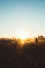 Burmese Farmer Driving Cattle Herd In Front Of Bagan Pagodas