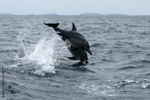 Plakat  Delfine bei Trincomalee Sri Lanka im Indischen Ozean