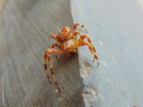 Plakat makro pająk