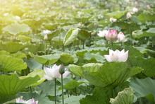 Background Beautiful Lotus Flo...