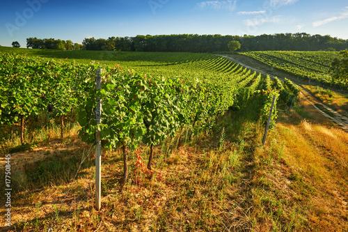 Plakat Rzędy zielonych winnic w lecie, Region południowomorawski, Republika Czeska