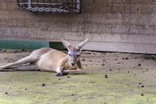 Kangaroo Relaxing In A Zoo