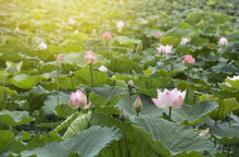 Background Beautiful Lotus Flo...