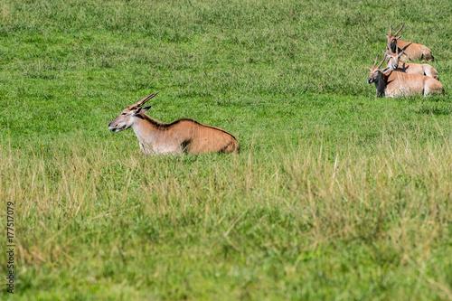 Fotografie, Obraz  Sable antelopes in grass
