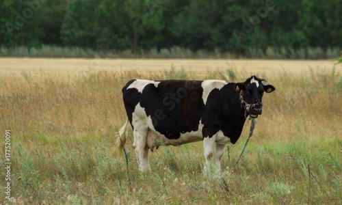 Poster de jardin Vache Caw grazing