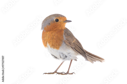 Poster Vogel European robin (Erithacus rubecula)