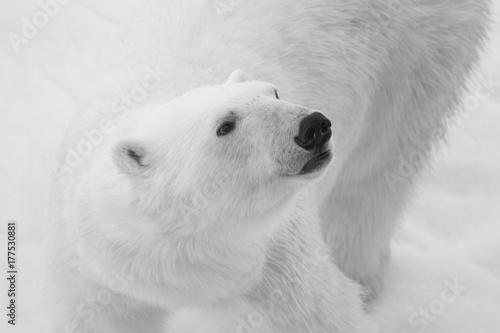 polar bear, black and white