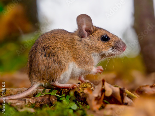 yellow necked mouse sideview