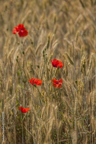 Foto op Canvas Klaprozen Poppies in a field