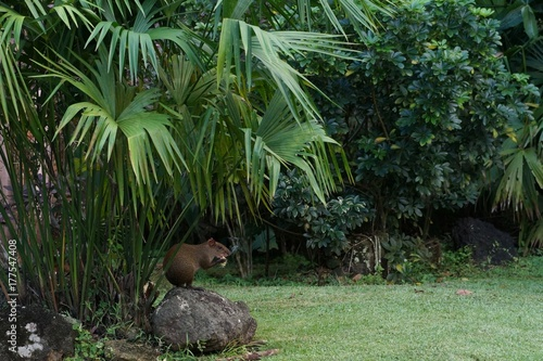 Agouti sitting under palm tree in a city park Wallpaper Mural