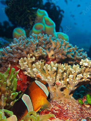 Plakat Clownfish i koralowiec