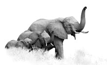 Artistic, Black And White Photo Of Three African Bush Elephants, Loxodonta Africana, From Adults To Newborn Calf, Coming Togther With Trunks Raised, Isolated On White With A Touch Of Environment