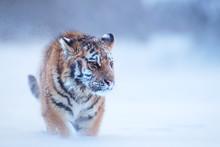 Close Up, Young Siberian Tiger...