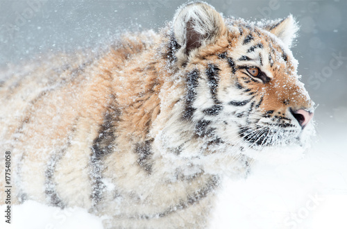 Portrait of young Siberian tiger, Panthera tigris altaica, male with snow in fur, walking in deep snow during snowstorm. Taiga environment, freezing cold, winter.