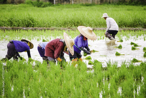 Thai farmers growing rice in the paddy field Tapéta, Fotótapéta