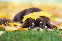 Chihuahua Dog Lying Down In Fallen Leaves