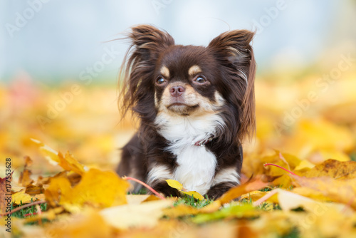 brown chihuahua dog lying down on fallen leaves Canvas Print