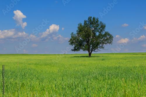 Plakat Świeży zielony pole juvenille adra i drzewo