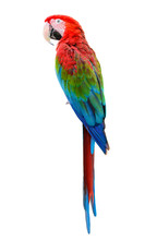 Scarlet Macaw, Colorful Bird P...