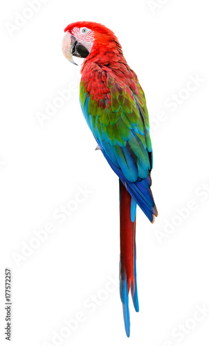Foto op Aluminium Papegaai Scarlet Macaw, Colorful bird perching with white background and clipping path.
