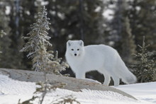 Arctic Fox (Vulpes Lagopus) In...