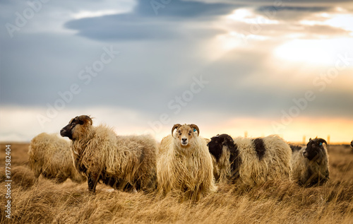 Rams grazing on a pasture in Iceland on a cloudy day Wallpaper Mural