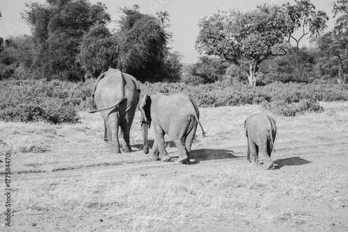 Garden Poster Bestsellers family of elephants in Masai Mara Kenya