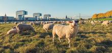 Schafe Auf Den Pollerwiesen In...