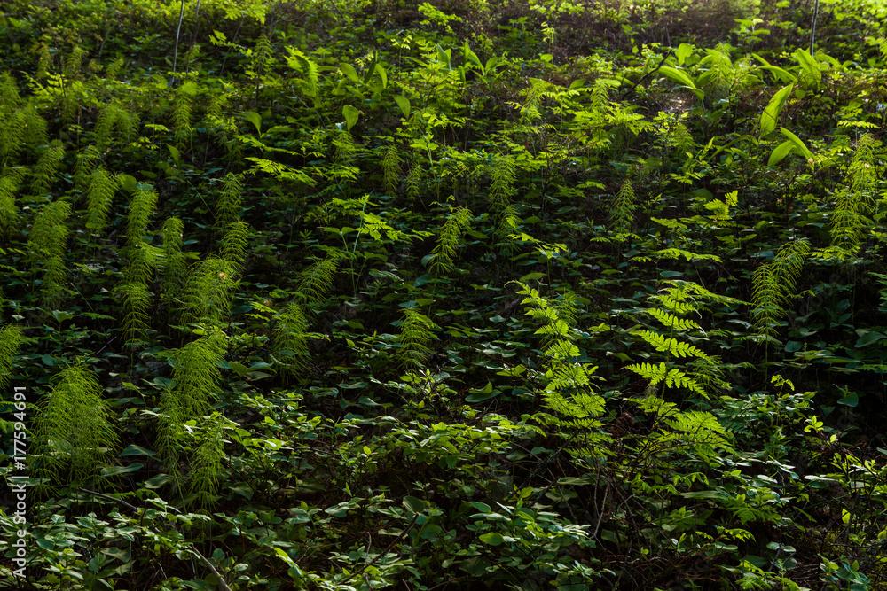 Fototapety, obrazy: Forest floor vegetation illuminated by sunlight