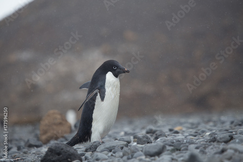 Tuinposter Pinguin Adelie Penguin walking on rocks