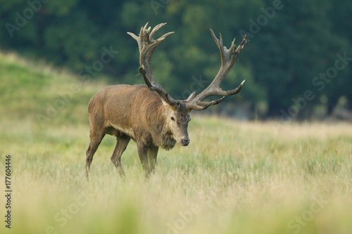Plakat Red deer - Rutting season