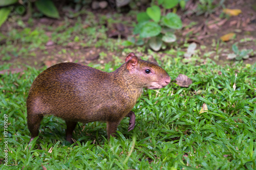 Photo Red rumped Agouti, (Dasyprocta leporina), a common rodent to the Amazon Rain For