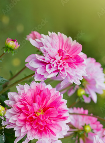 Poster de jardin Dahlia Pink dahlia flowers background.