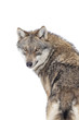 Gray wolf isolated