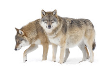 Two Gray Wolves Isolated On Wh...