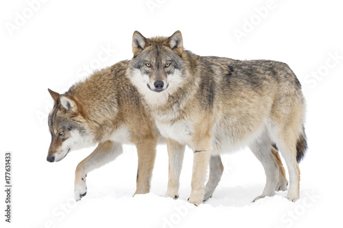 Fotobehang Wolf Two Gray wolves isolated on white