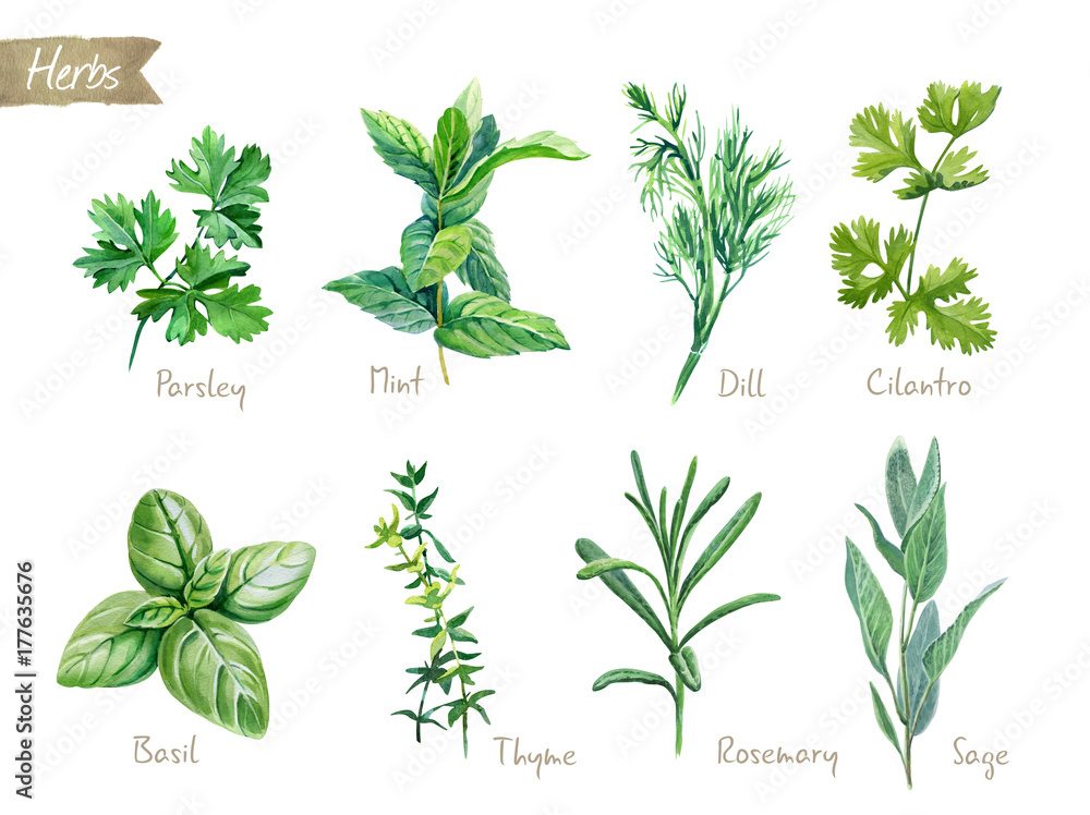 Fototapety, obrazy: Culinary herbs collection watercolor illustration with clipping paths