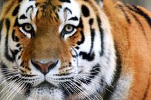 Siberian Tiger (Panthera Tigris Altaica), Also Called Amur Tiger Looking Intensive At Camera. Horizontal Close Up Image.