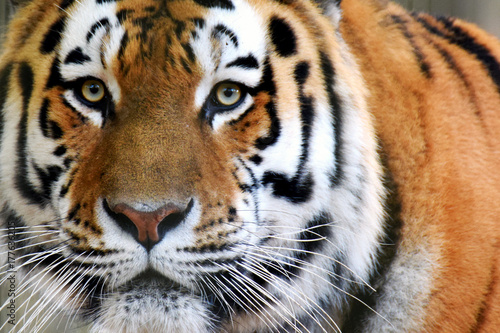 In de dag Tijger Siberian tiger (Panthera tigris altaica), also called Amur tiger looking intensive at camera. Horizontal close up image.