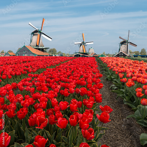 Keuken foto achterwand Rood traf. Dutch windmill over red tulips field in spring, Netherlands