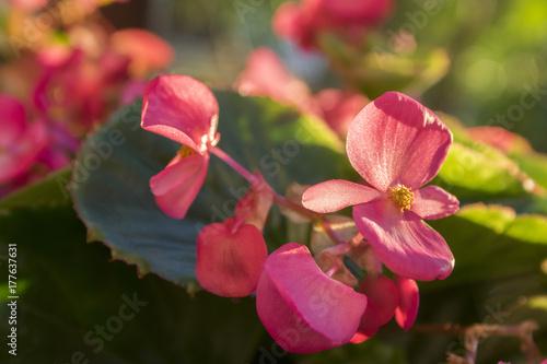 Zdjęcie XXL Begonia cucullata w kwiacie z różowymi płatkami i dużymi liśćmi