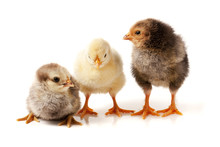 Three Little Chicken Isolated ...