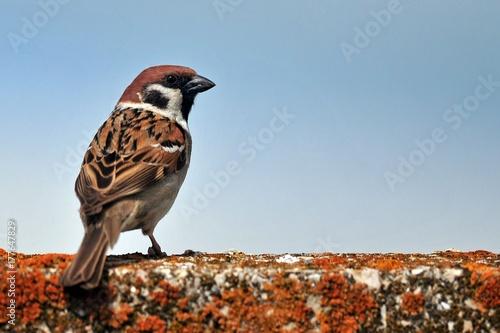 Cuadros en Lienzo Tree sparrow (Passer montanus)
