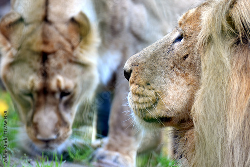 Fototapety, obrazy: Asiatic lions (Panthera leo persica) couple, also known as the Indian lion and Persian lion. Male on foreground, female on background.